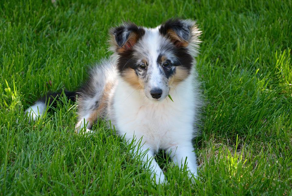 shetland sheepdog cachorro young foto gratis en pixabay. Black Bedroom Furniture Sets. Home Design Ideas