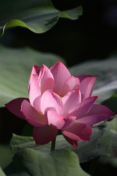 Lotus, Rosa, Rote, Pflanze