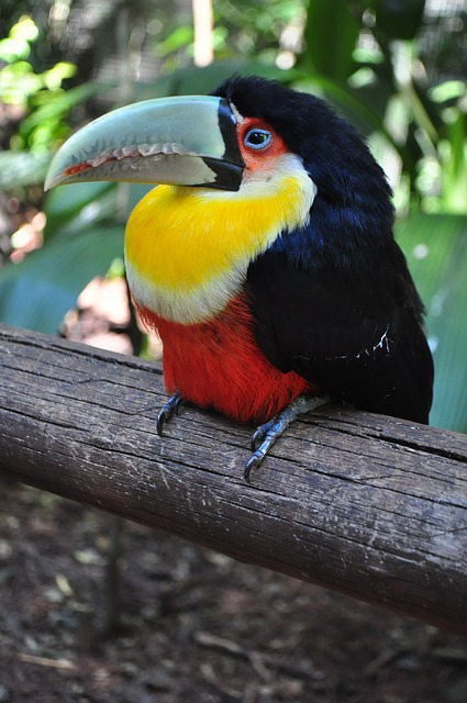 birds tucano brazil  photo  pixabay