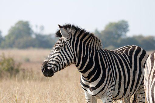 Zebra, Animal, Mammal, Wildlife, Game