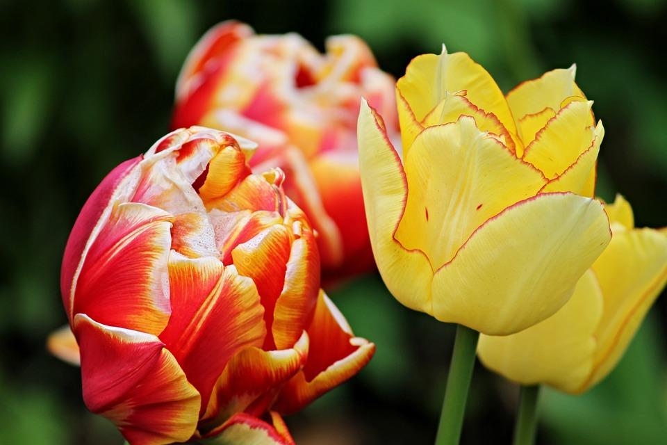 Tulip Flower Tulips Flowers Spring Orange