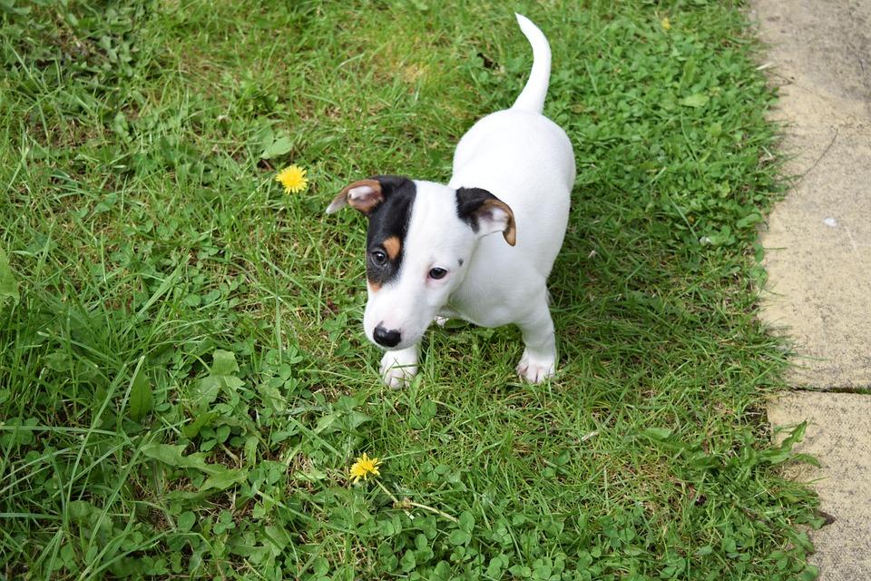 Inne rodzaje Pies Jack Russell Terrier - Darmowe zdjęcie na Pixabay PW67