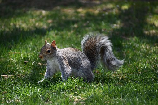 Squirrel, Animal, Pest, Wildlife