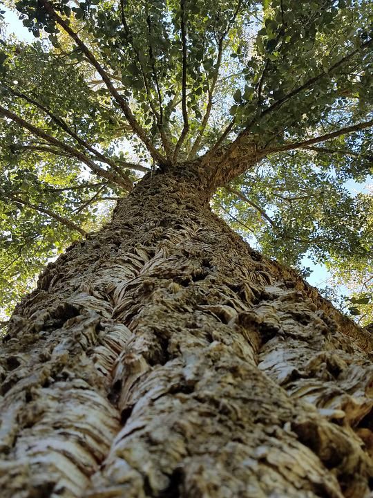 korktræ