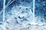 wolf, animal, snow