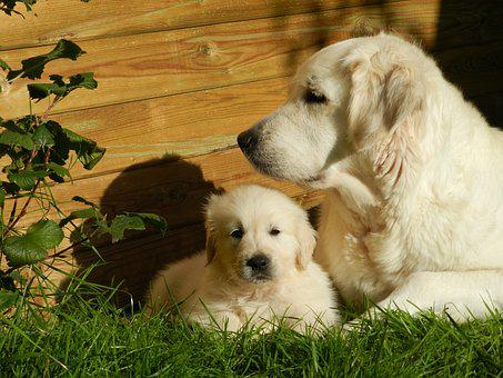 Golden Retriever, Dog, Puppy, Animal