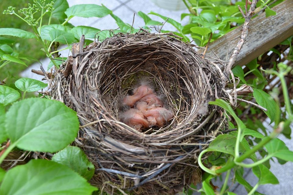 Bird S Nest Chicks Hatch Bird Free Photo On Pixabay