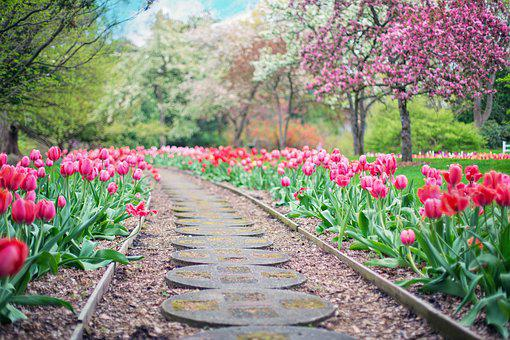 Pathway, Path, Pink Tulips, Tulips