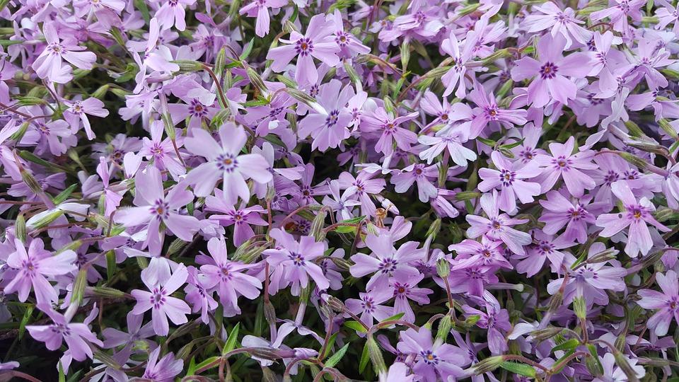 garten blumen lila, blumen lila · kostenloses foto auf pixabay, Design ideen