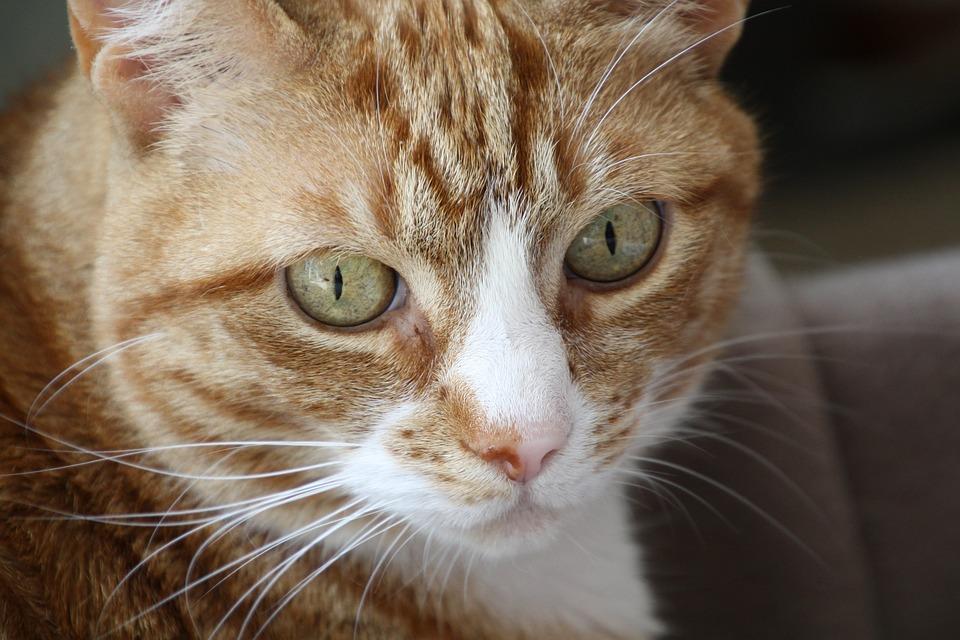 Koty Czerwony Mężczyzna Rudy Kot Darmowe Zdjęcie Na Pixabay