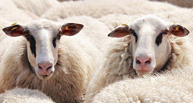 Owiec, Stado Owiec, Zwierzęta, Wełna