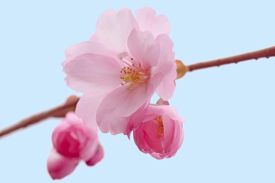 59+ Kekinian Download Foto Gambar Bunga Sakura
