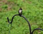 tyrant flycatcher, bird