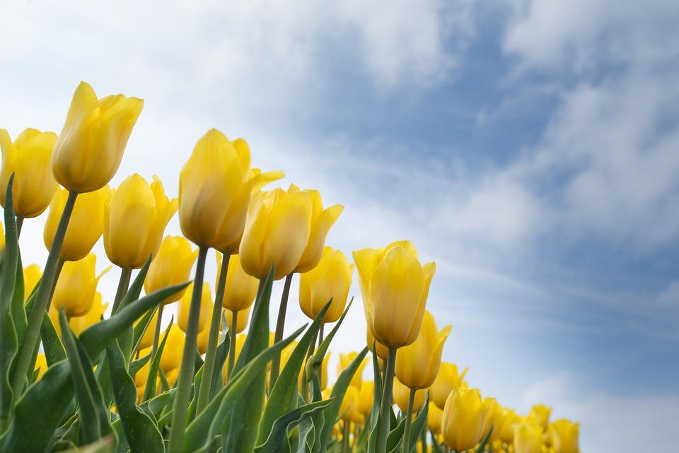 Lampada Fiore Tulipano : Giallo tulipano lampadina · foto gratis su pixabay
