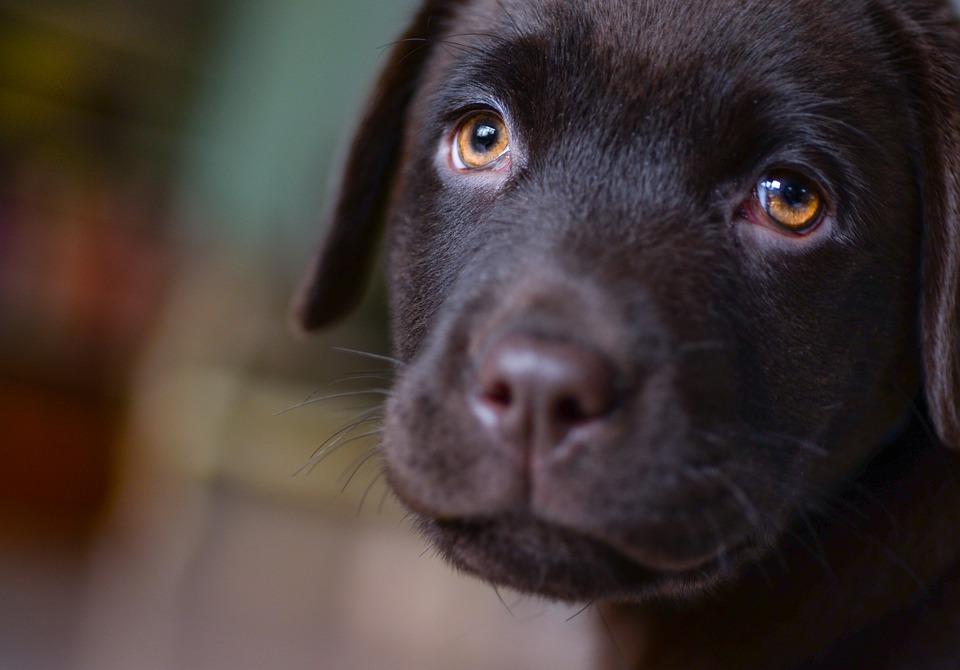 若いです, ラブラドール, 子犬, ブラウン, 犬, ペット, 動物, レトリーバー, かわいい, 幸せ