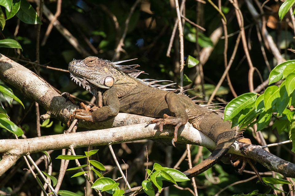 Iguane, Tropiques, Forêt Tropicale Humide, Reptile