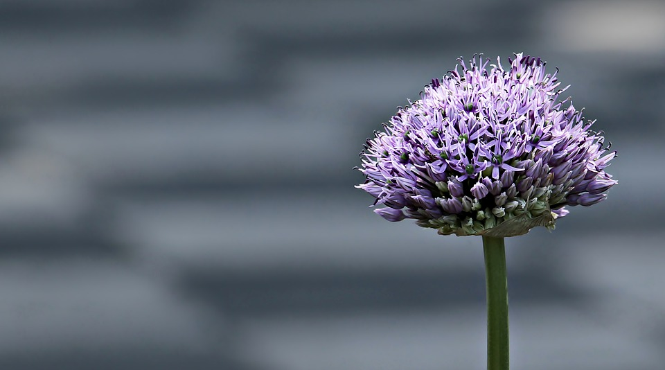 Ornamental Onion, Allium, Flower, Blossom, Bloom