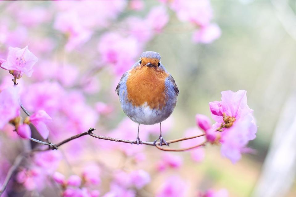 鳥, ロビン, 春, 花, 座っている, ホ鳥, アベニュー, 鳥類学, バードウォッチング, 動物