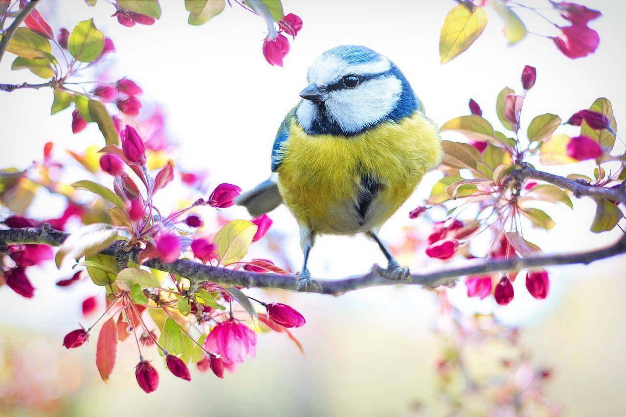 Spring Bird, Bird, Tit, Spring, Blue, Nature, Branch