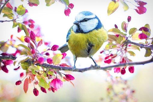 春鳥, 鳥, 乳首, 春, 青, 自然, 支店, 花, ピンクの花