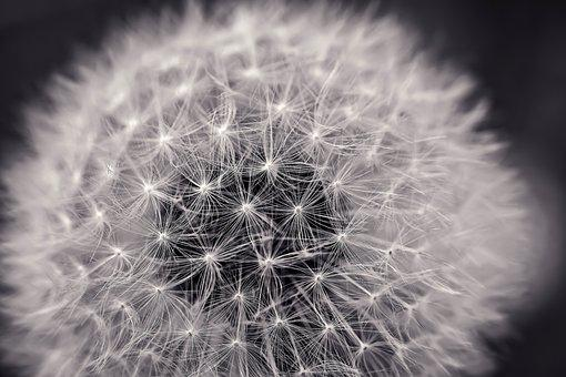 White images pixabay download free pictures dandelion close up pointed flower mightylinksfo