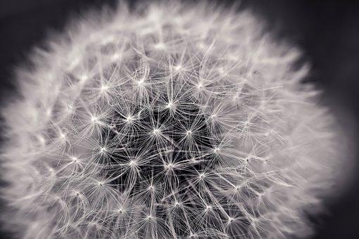 Dandelion, Close Up, Pointed Flower