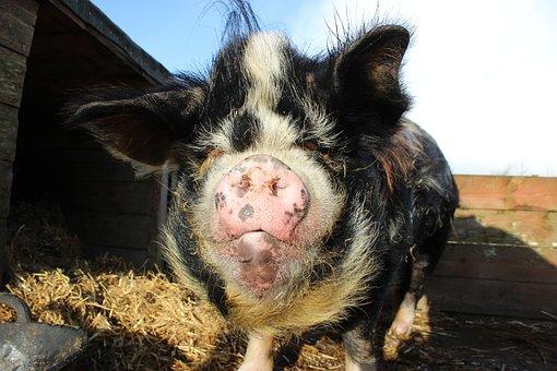 Из-за АЧС потребление кормов для свиней в Китае в 2019 году снизится на 35%