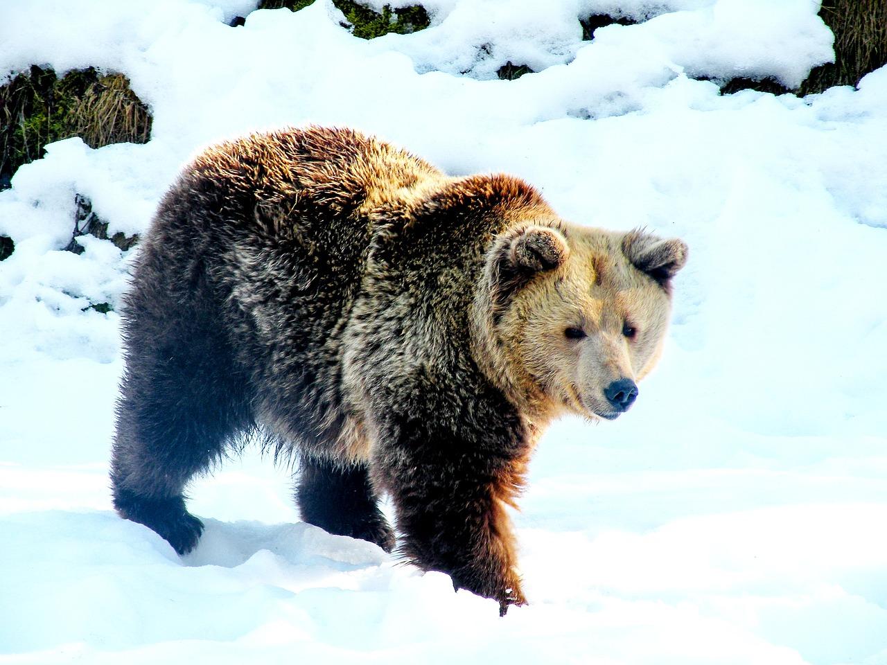 плюсам можно бурый медведь шатун зимой фото фотографом