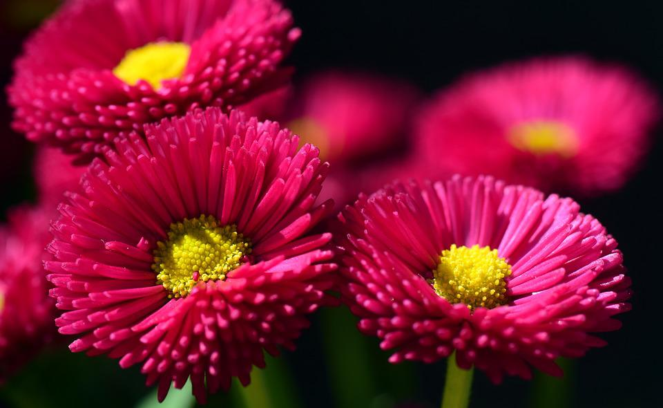 free photo daisy, red, flower, blossom, bloom  free image on, Natural flower
