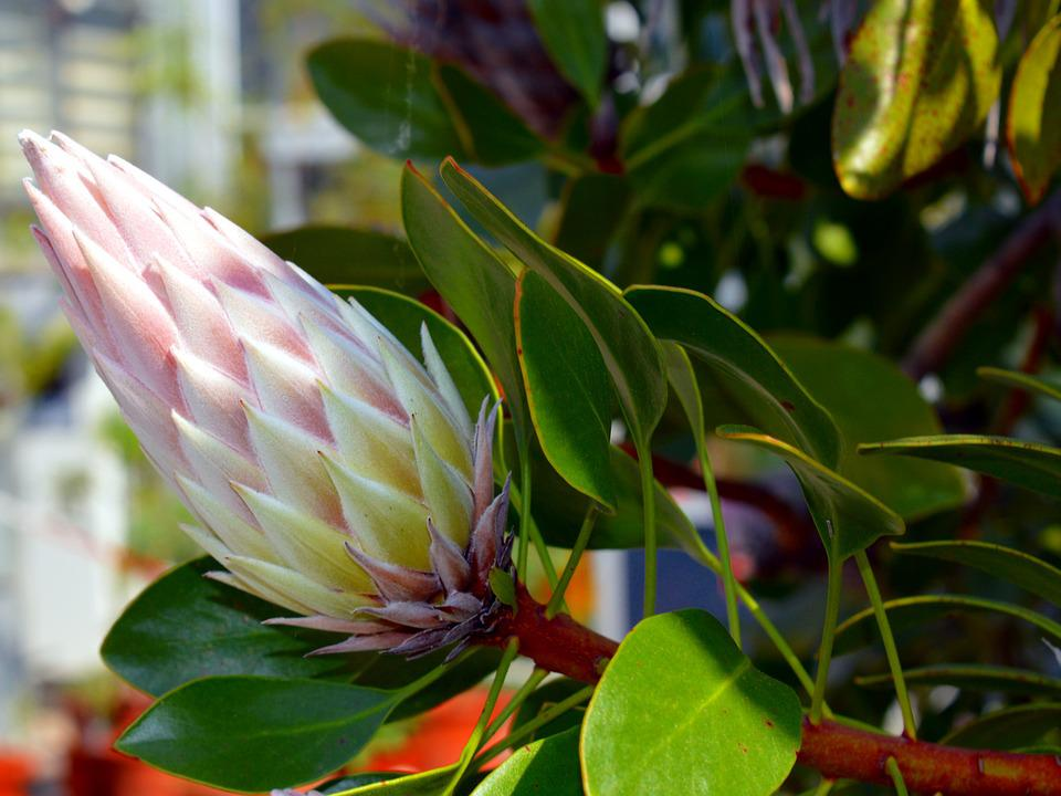 Protea King 183 Free Photo On Pixabay
