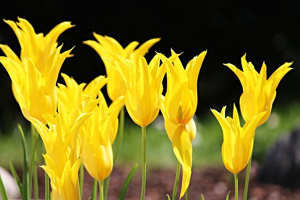Tulips yellow flowers free photo on pixabay tulips yellow flowers spring flower spring flower mightylinksfo