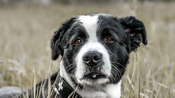 Dog, Field, Animal, Snout, Head
