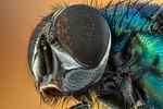 makro, mucha, złożone oczy