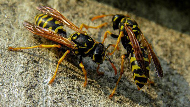 Wasp, Macro, Nature, Insects, Insect