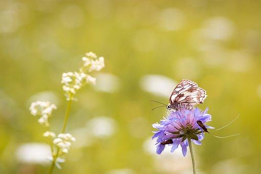 蝶, チェス盤蝶, 女性の掲示板, Edelfalter, 夏, 牧草地