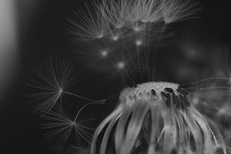 Pusteblume Schwarz-Weiß Löwenzahn - Kostenloses Foto auf Pixabay