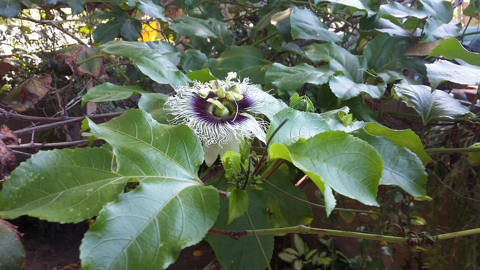 Maracuya, Flor, Flor Silvestre, Plantas, Passiflora