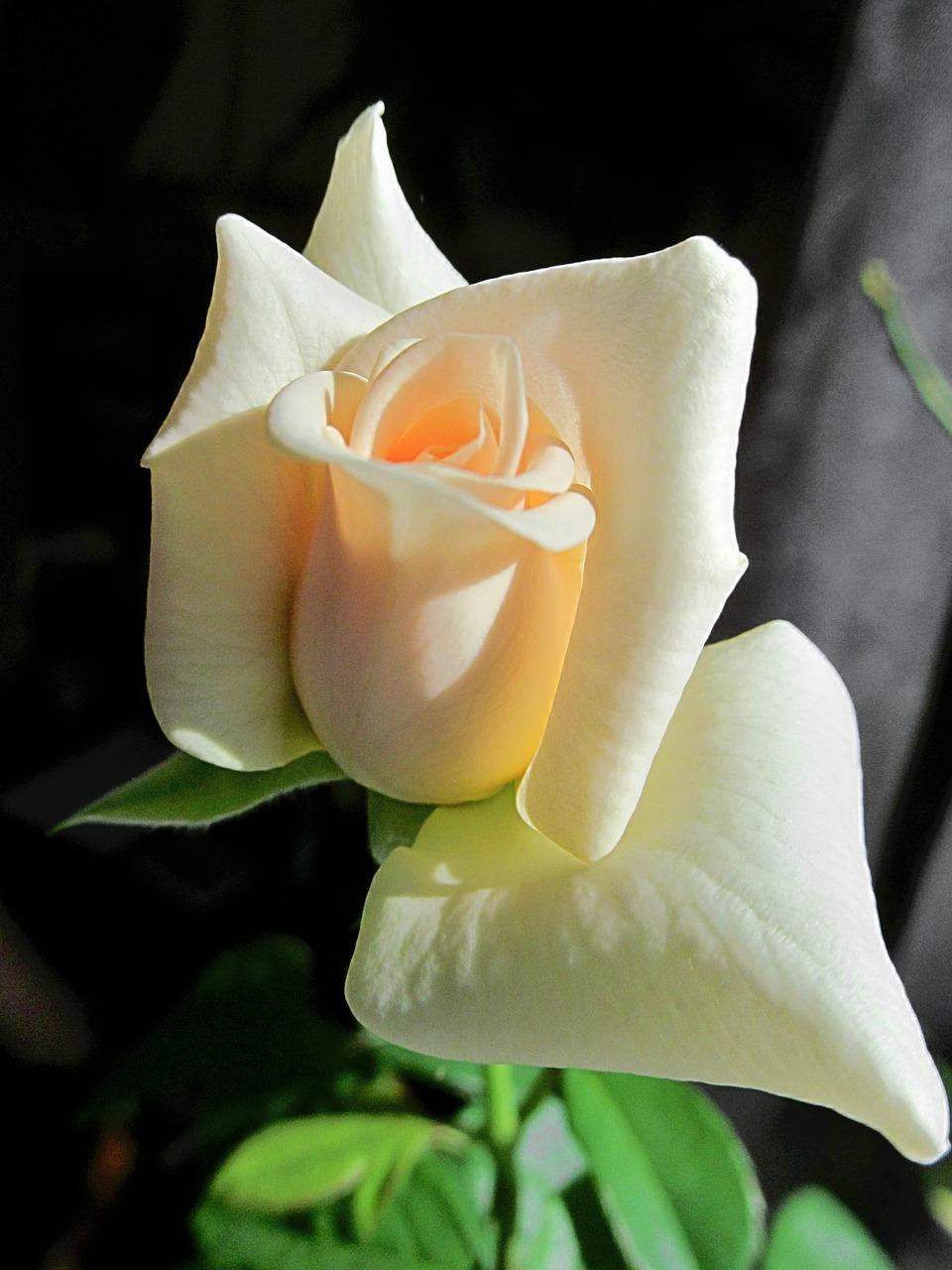 Fleur Rose Tendresse - Photo gratuite sur Pixabay