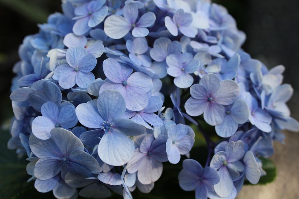Kostenloses Foto: Hortensie, Blume, Blau, Blumen - Kostenloses