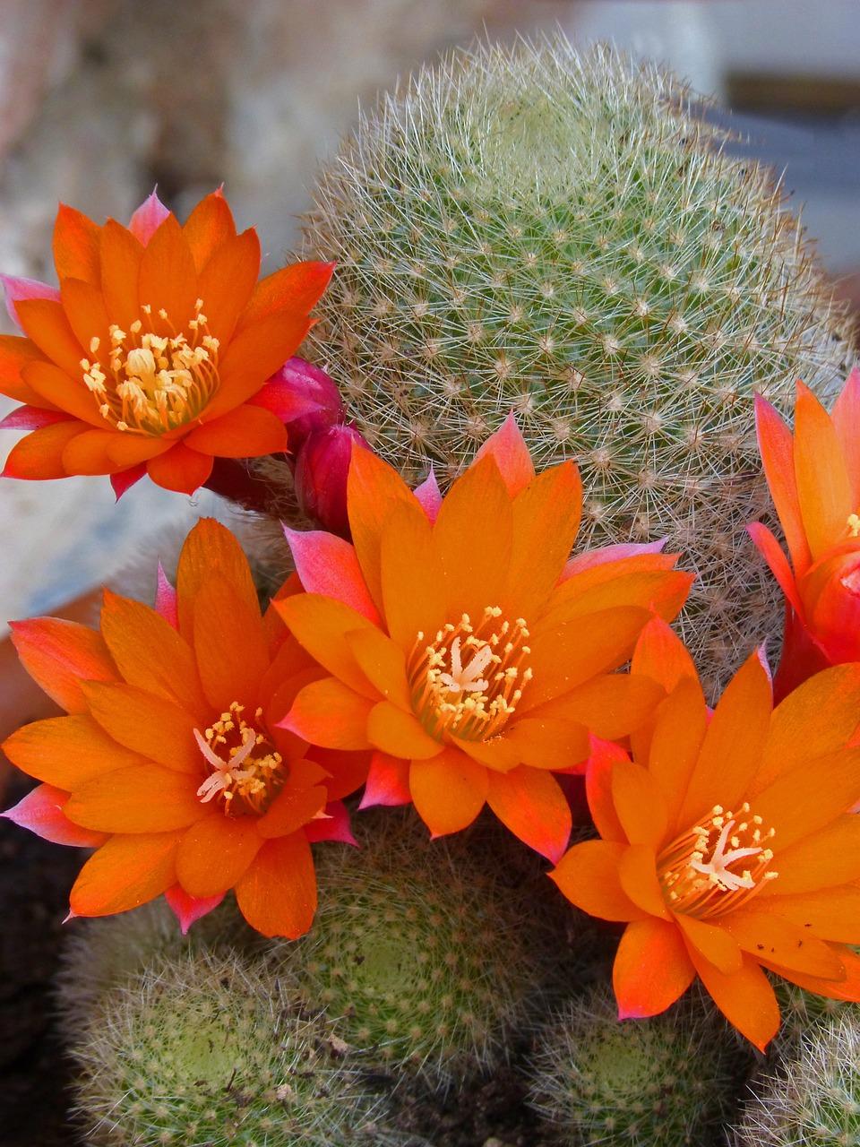 Цветы кактусовые картинки