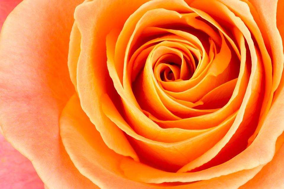 Flower rose orange free photo on pixabay flower rose orange pink pink rose bloom flowers mightylinksfo