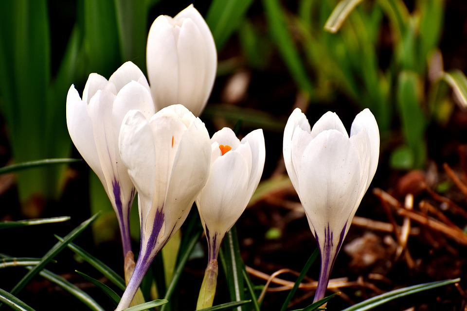 Crocus flower white free photo on pixabay crocus flower white blossom bloom spring nature mightylinksfo