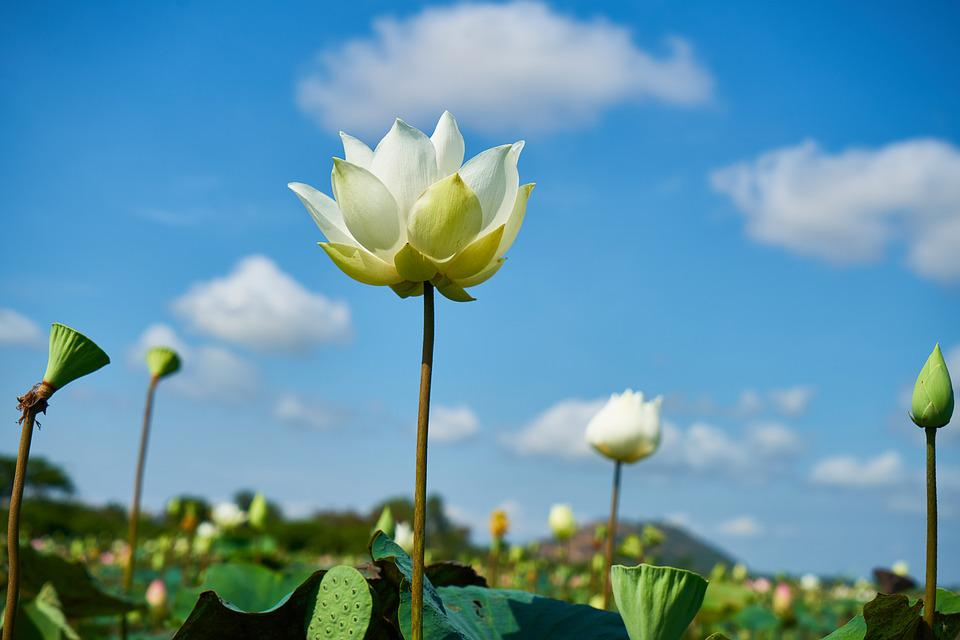 free photo flower, white, lotus, nature, plant  free image on, Natural flower