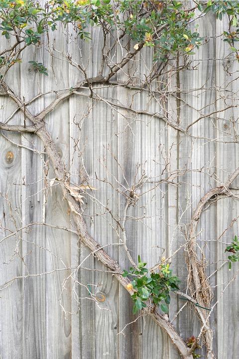 Zaun Wand Anlage Zweig Kostenloses Foto Auf Pixabay