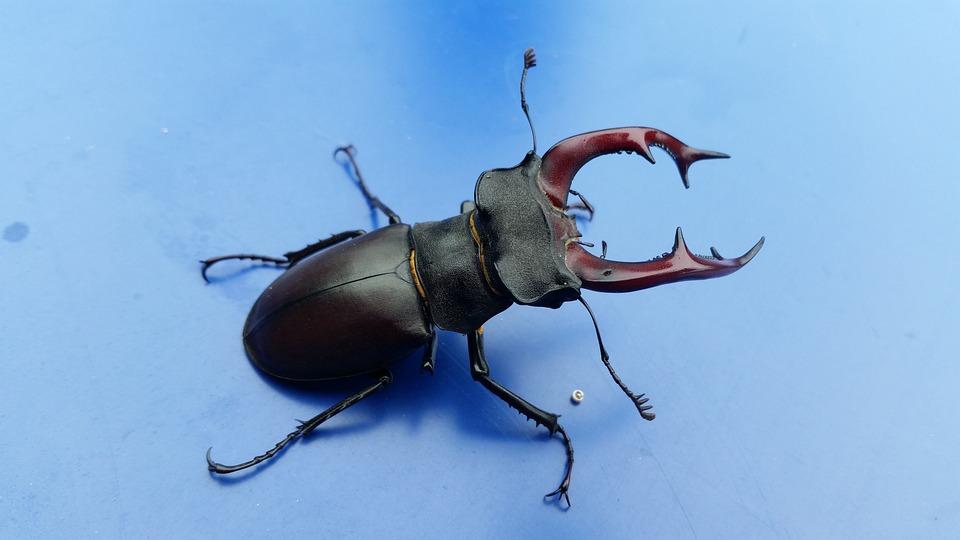 stag beetle bug beetle free photo on pixabay
