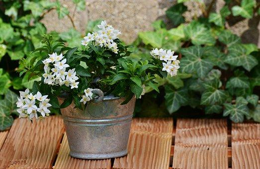 Jasmin, Solanum Jasminoides, Järjestely