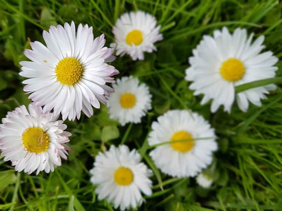 Stokrotki Kwiaty Wiosna - Darmowe zdjęcie na Pixabay