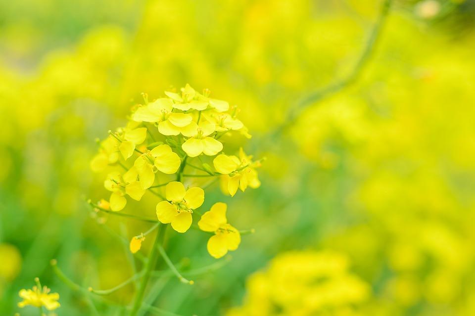 菜の花の花言葉の由来|名前に付けるときの花言葉