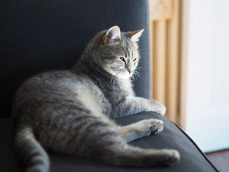 灰色の猫、猫が横たわっている、屋内猫