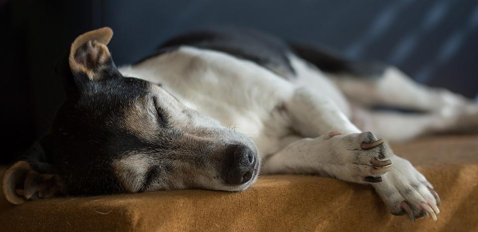 Jack Russell, Pies, Stary, Terier, Pet, Zwierząt